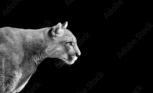 Poster Puma Portrait of Beautiful Puma. Cougar, mountain lion, isolated on black backgrounds
