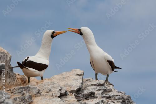 Photographie  Black-Footed Booby Bird on Espanola Island, Galapagos Islands