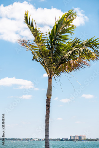 Foto op Plexiglas Palm boom One vertical palm tree leaves in wind colorful green isolated against blue sky in Sarasota, Florida during sunny day, cityscape, bay, buildings