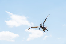One Funny Eastern Brown Pelican Bird Flying, Landing Isolated Against Blue Sky In Florida Looking Hunting