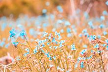 Wildflowers Tradescantia Occidentalis Spiderwort Blue Flowers With Three Petals Closeup In Paynes Prairie Preserve State Park In Gainesville, Florida
