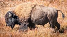Bison On The Yellowstone Range