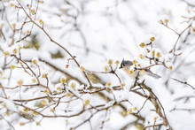One Tufted Titmouse Bird Perched On Sakura, Cherry Tree Branch Covered In Snow With Buds During Heavy Snowing, Snowstorm, Storm In Virginia