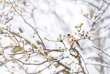 Low Angle View On One Tufted Titmouse Bird Perched On Sakura, Cherry Tree Branch Covered In Snow With Buds During Heavy Snowing, Snowstorm, Storm In Virginia