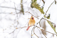 Closeup Of One Fluffed, Puffed Up Orange, Red Female Cardinal Bird Perched On Sakura, Cherry Tree Branch, Trunk Covered In Falling Snow With Buds During Heavy Snowing, Snowstorm, Storm In Virginia