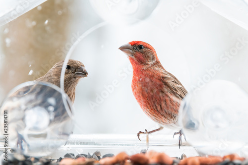 Fotografie, Tablou Two curious looking, pair, couple, female, red male house finch birds closeup si