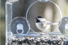 Closeup Of Chickadee Bird Sitting, Perched On Plastic Glass Window Feeder Perch, Sunny Day, Looking, Curious During Heavy Snow, Snowing, Snowstorm On Sunny Day, Sunflower Seeds, Virginia