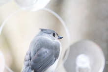 Back Macro Closeup Of One Tufted Titmouse Perched On Plastic Window Bird Feeder Perch, Suction Cups With Sunflower Seeds, Peanut Nuts, Looking Side, Eye During Snow, Snowing, Virginia