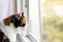 Closeup Of One Female Cute Calico Cat Face Standing Inside, Indoors, Indoor Of House, Home Room Windowsill, Sill, Looking Out, Through Window, Staring Behind Mesh Screen Outside, Bird Watching
