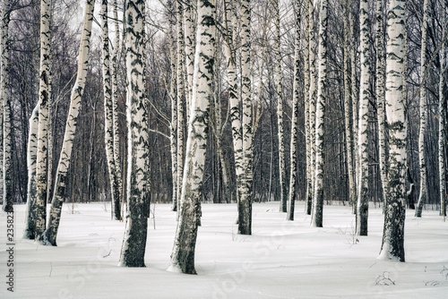 Tuinposter Berkbosje Birch forest at winter day