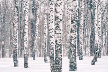 Fototapeta Optyczne powiększenie Birch forest at winter snowstorm