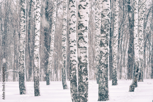 Birch forest at winter snowstorm