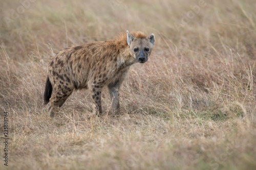 Hyena in the bush