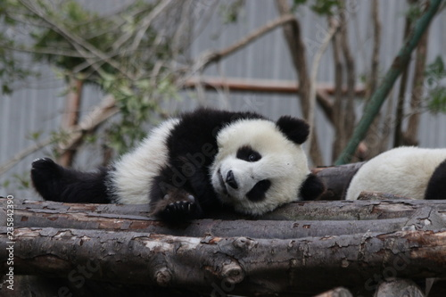 Stickers pour portes Panda Little Panda Cub is Relaxing on the playground, China