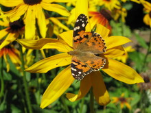 A Beautiful Butterfly On A Yellow Flower