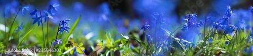 Foto auf Leinwand Landschaft panorama blue scilla flower in a forest glade