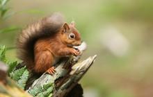 A Stunning Red Squirrel (Sciurus Vulgaris) Sitting On A Tree Stump Feeding.