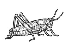 Grasshopper Locust Insect Engr...