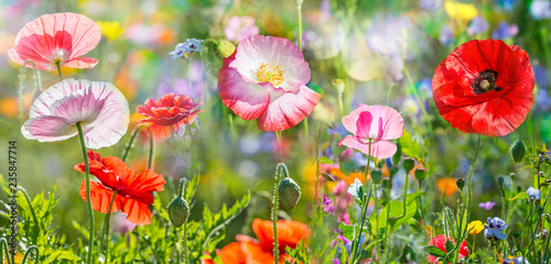 Poster Fleuriste summer meadow with red poppies