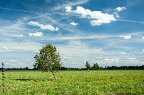 Inclined birch tree in the meadow