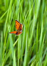 Orange Butterfly With Black Dots Scarce Copper ( Lycaena Virgaureae, Female ) On A Background Grass In Garden