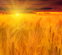 Wheat Field. Ears Of Golden Wheat Close Up. Beautiful Nature Sunset Landscape. Rural Scenery Under Shining Sunlight. Background Of Ripening Ears Of Wheat Field. Rich Harvest Concept. Label Art Design.