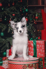 Marble Border Collie Puppy Dog In Christmas Decorations With Gift Box Marble Border Collie Puppy Dog In Christmas Decorations With Gift Box. Beautiful Dog, Holiday, New Year, Interior, Christmas