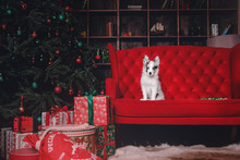Marble Border Collie Puppy Lying On White Background Of Christmas Decorations. Beautiful Dog, Holiday, New Year, Interior, Christmas