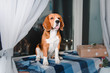 Beautiful beagle dog lying on the couch