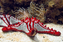 Close Up View Of Red-knobbed Starfish