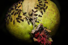 Ants On A Pomegranate