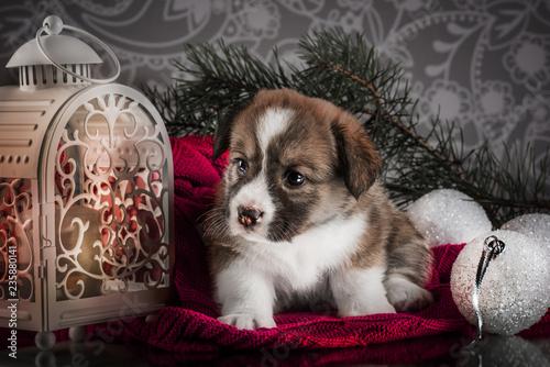 Obraz christmas Welsh corgi cardigan puppy - fototapety do salonu
