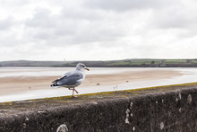 Seagull On A Sea Wall Cornwall...