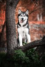 Autumn Malamut Dog