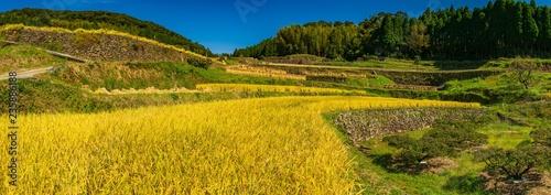 コスモス咲く棚田の秋