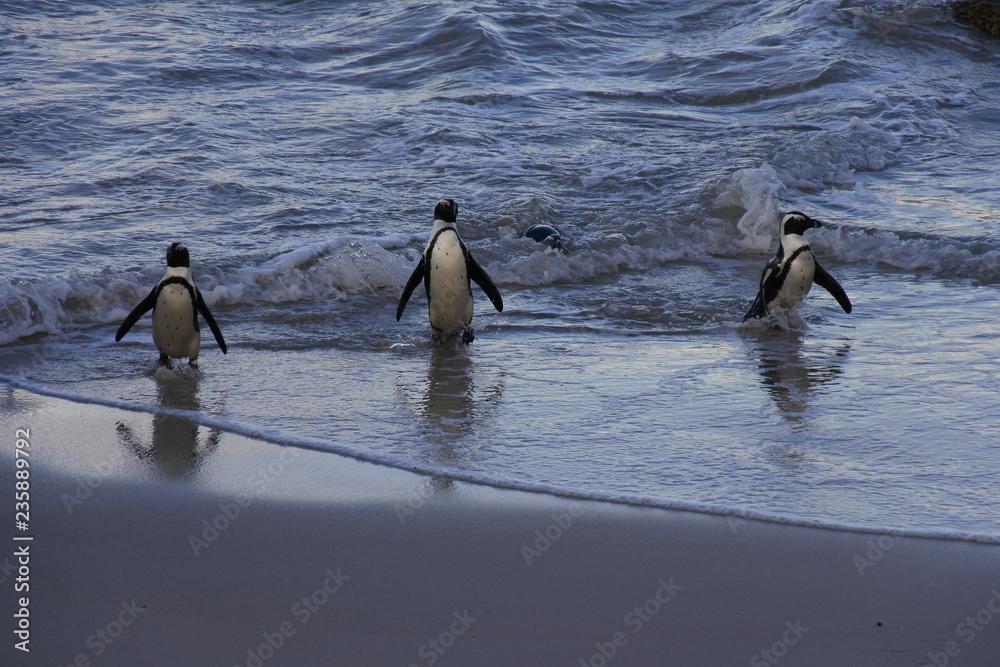 Eine Gruppe Brillenpinguine verlassen das Meer am Strand in Boulders Beach in Südafrika