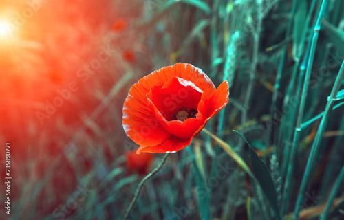 Fotobehang Klaprozen wild poppy flower at sunset