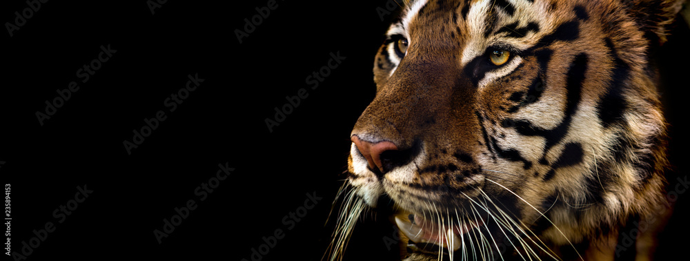 Fototapeta Wild Siberian tiger on nature