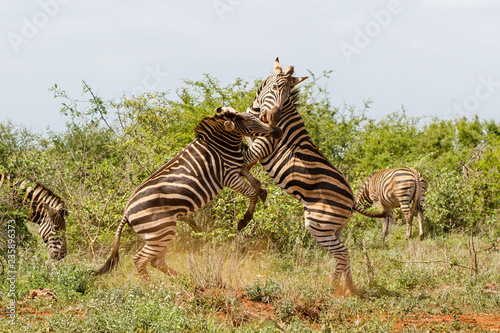 Zebra fight - Kruger National Park - South Africa
