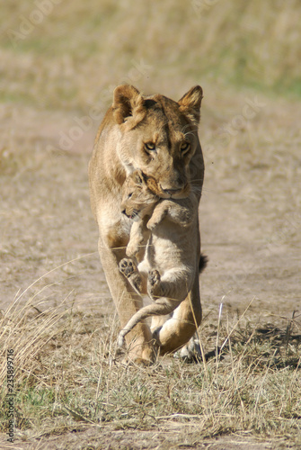 Fotografia Lioness carries her cub in her mouth in Masai Mara National Park in Kenya