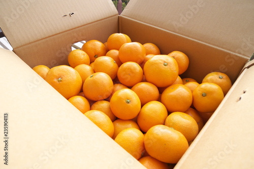 産地直送箱入りみかん - Fresh mandarin oranges from farm in the box