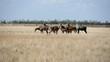 Herd of big nilgauantelopes pasturing in Askania-Nova bio-reserve steppe