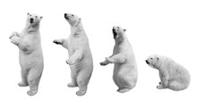 A Collage Of Polar Bear In Var...