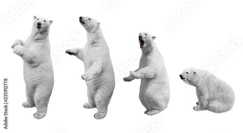 A collage of polar bear in various poses on a white background isolated