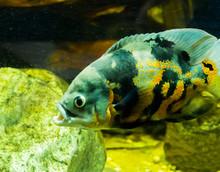 Closeup Of A Tiger Oscar Fish,...