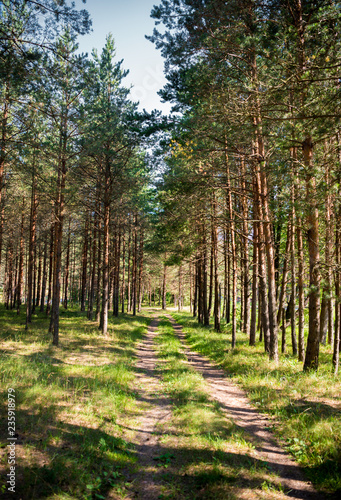 Beautiful landscape with path through the pine forest