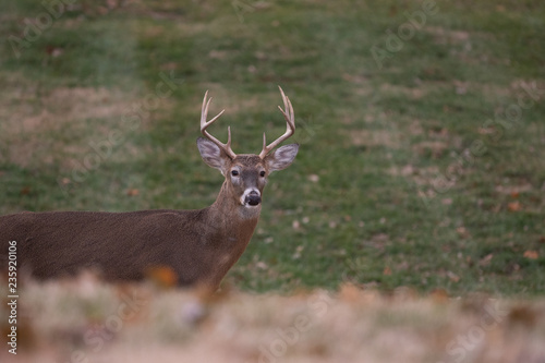 Poster Cerf white-tailed deer buck walking through a meadow