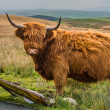 """Highland Cattle Are A Scottish Cattle Breed. They Have Long Horns And Long, Wavy, Wooly Coats That Are Coloured Black, Brown, Yellow, White, Gray, """"silver"""", Or Tan, And They Also May Be Brindled."""