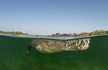 Cuban Crocodile, Under Over