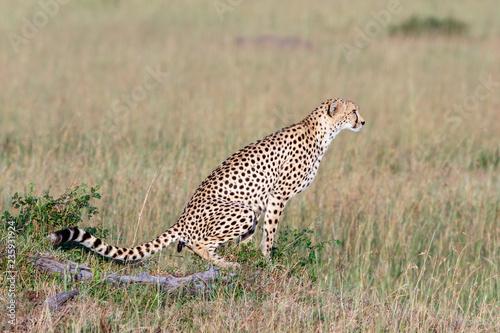 Fényképezés Wild Cheetah sitting and shitting in the grass